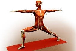 anatomy yoga